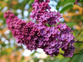 Lilac panicles in a shade of deep violet.