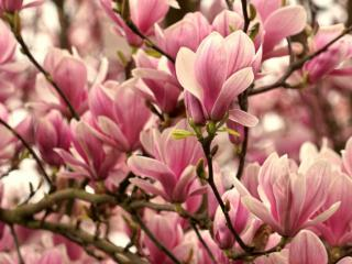 Magnolia flowers, pink and white.