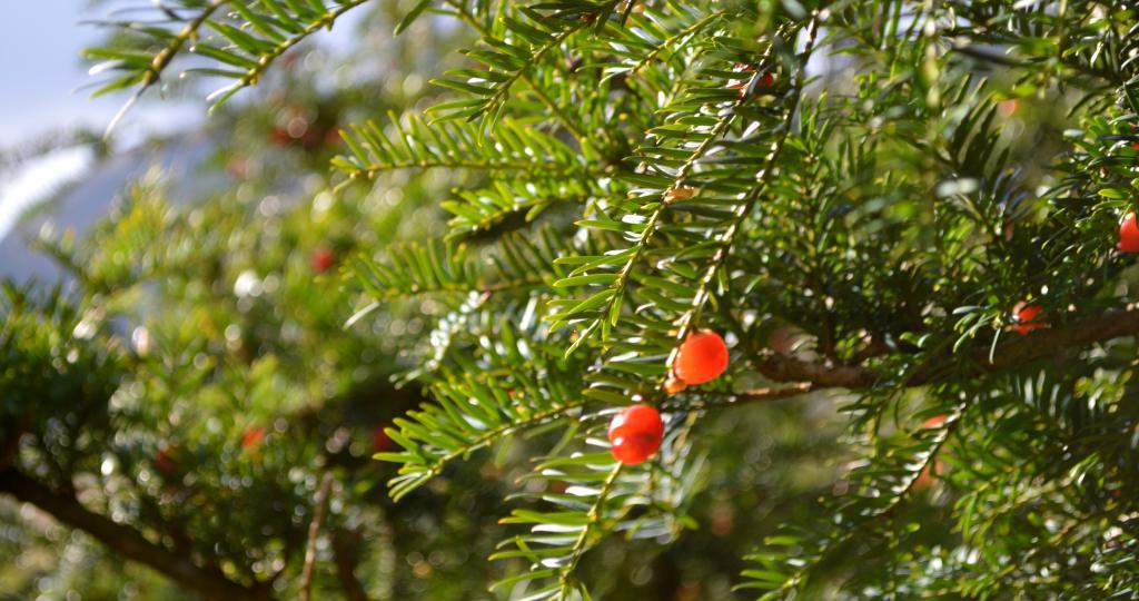 Yew is a beautiful evergreen that bears red berries.