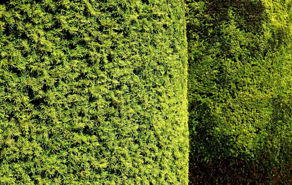 Yew Planting Pruning And Caring For Yew Including Topiary