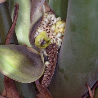 Old partly fertilized zamioculcas flower with one marble-sized fruit growing on it for seeds