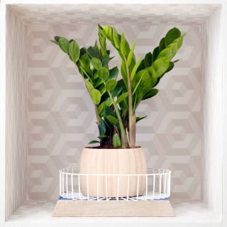 Trendy zamioculcas in designer setting with mesmerizing background