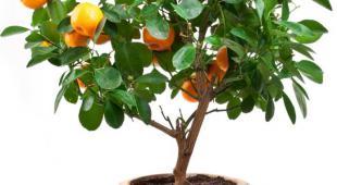 Oranger en pot