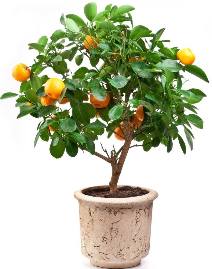 Potted orange tree, ideal for a terrace