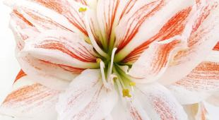 Red and white amaryllis flower bloom.