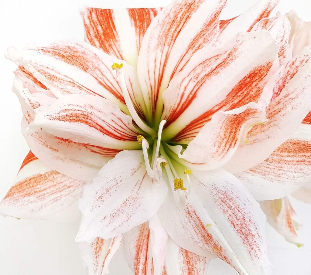 Extend the blooming of your amaryllis!