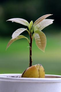 Sprouted avocado in a small white pot.