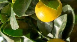 Calamondin bearing red-yellow fruits.