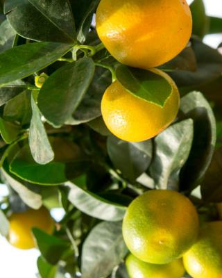 Calamondin, a nice indoor orange tree