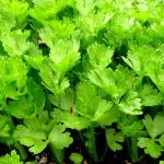 Celery, both stalk and root, is easy to grow in the vegetable patch, like these seedlings.