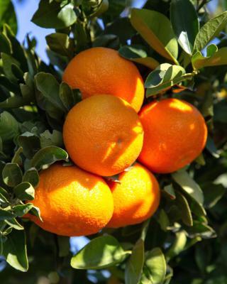 Clementine tree and mandarin orange, how to grow them
