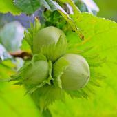 Corylus avellana hazelnuts for your garden!