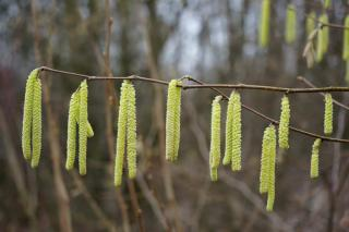 Corylus avellana catkins hanging on a branch.