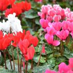 Caring for cyclamen is easy when they're outdoors as ground cover.