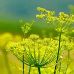Flowers of fennel, yellow with bright green stems.
