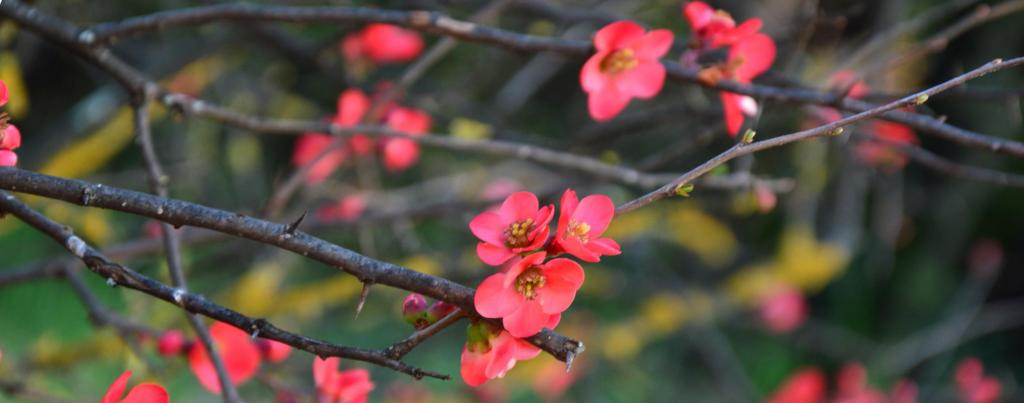 Blood-red blooming on a flower plum tree