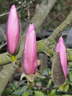 Three young magnolia flowers just tossed away their hulls.