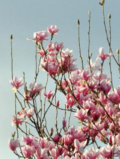 Magnolia in full bloom sending up new growth.