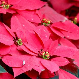 Red poinsettia flowers for the second time.