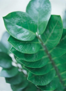 A close-up of Zamioculas leaves in an office setting, highlighting the symmetry and air-purifying active surface.