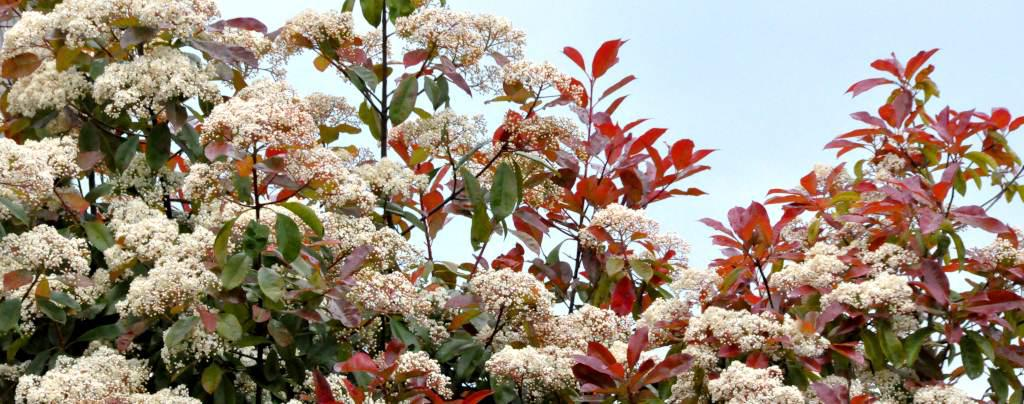 Photinia care is easy, the only important thing to guarantee blooming is pruning and exposure.