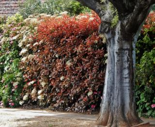 A hedge partially formed with photinia, under a large tree.