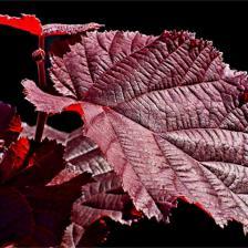 Purple filbert, purple hazel – care, pruning, harvest
