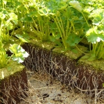 Parsley seedlings show the spread of roots to leaves to demonstrate how losing roots induces transplant shock.