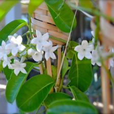 Save your Stephanotis from the cold, invite it in your house!