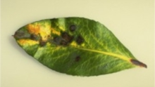 Black and yellow spots on a strawberry tree leaf, arbutus unedo.