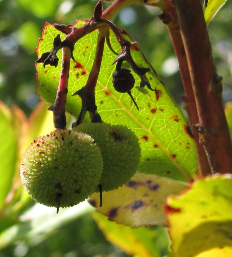 Brown and black spots on strawberry tree leaves and fruits.