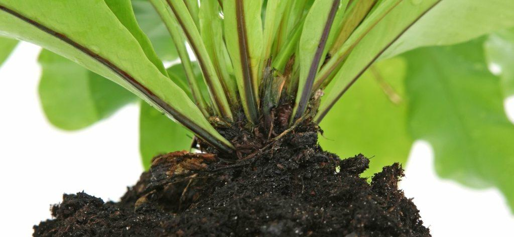The crown is the part of a plant where stem meets roots. It is where many exchanges take place.