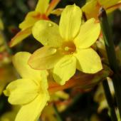 Winter jasmine, superb blooming