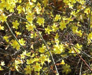 Winter jasmine bush spreading out.