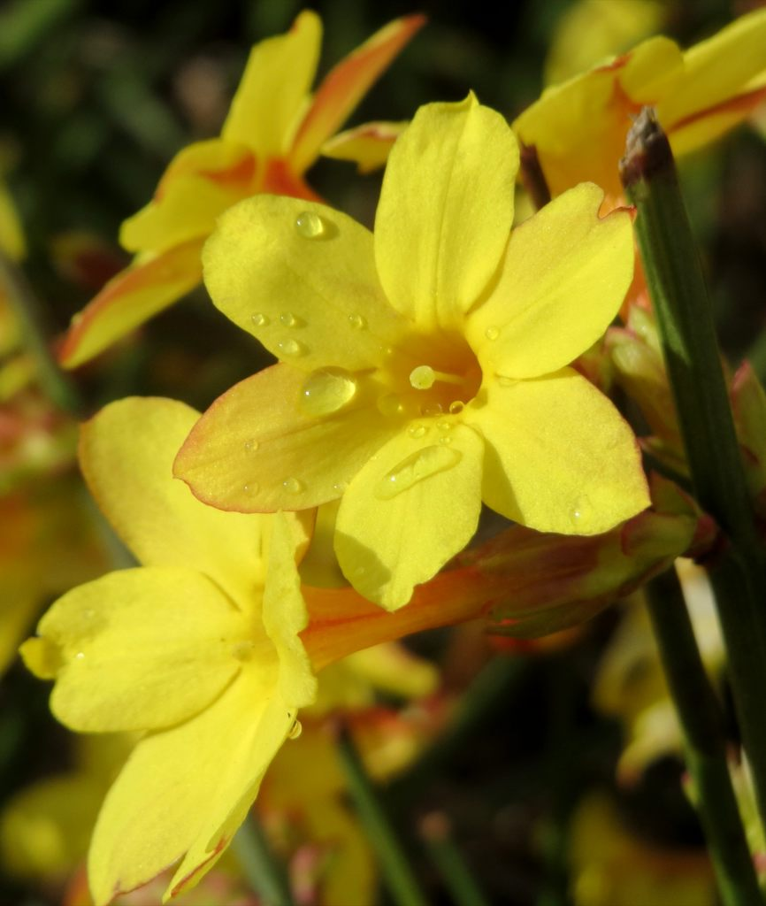 Winter jasmine, superb blooming