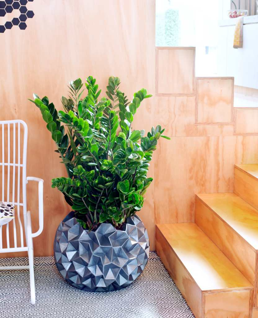 A lush healthy zamioculcas plant decorating the lobby of an office with a trendy designer pot.