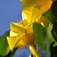 Allamanda, the Golden Trumpet