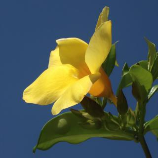 Yellow flower of the allamanda vine.