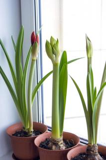 Three amaryllis flowers growing in pots on a windowsill, starting to bloom.