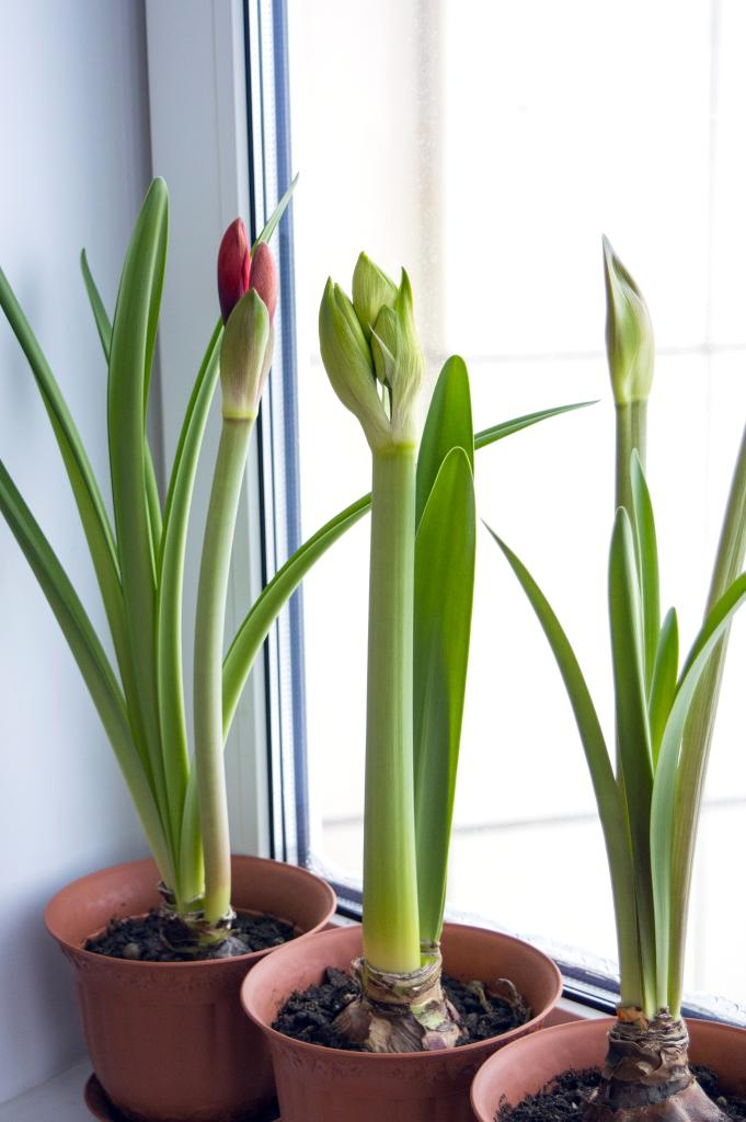 Amaryllis Growing Planting And Advice On How To Care For It