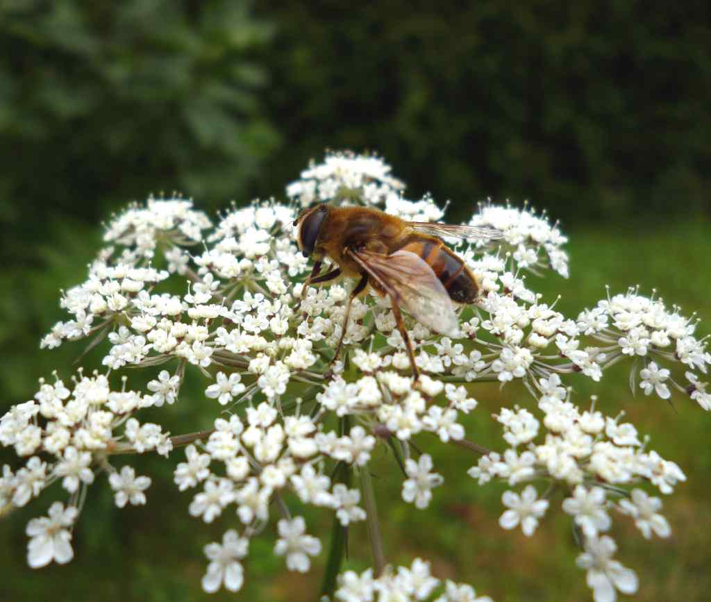 Bee on aniseed flower for its health benefits.