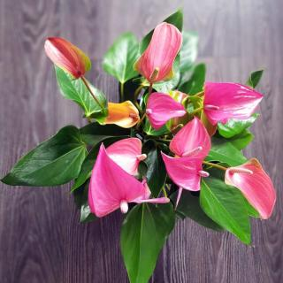A small pot of anthurium on a table removes air pollution.