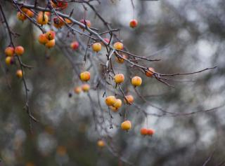 Leafless apple tree branches loaded with red yellow apples.