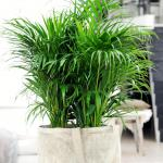 Areca palm in a pot, cleaning indoor air from pollutants.