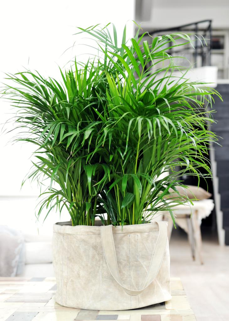 areca-air-purifier Palm Indoor Houseplants on palm flowers, palm shrubs, palm trees, palm indoor seeds,