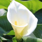 Arum, calla lily, blooming that is simply beautiful