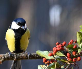 A bird will always find a way to berries in the garden.
