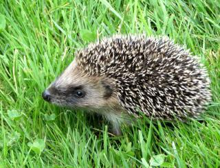 A hedgehog is probably the single best way to deal with slugs.