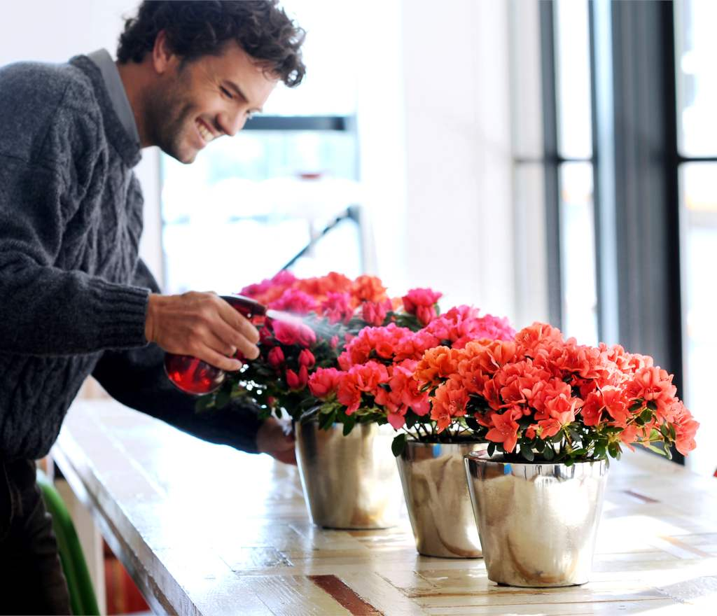 Azaleas are prepared for making colorful winter gifts by a handsome bearded man.
