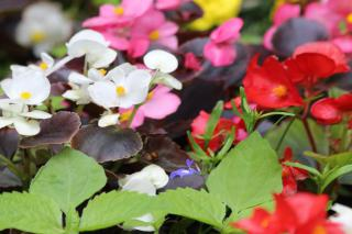 White, red, pink and yellow begonia flowers with a few weeds in the foreground.